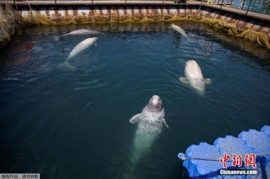 """俄罗斯科学家从""""鲸鱼监狱""""放归第二批鲸鱼"""