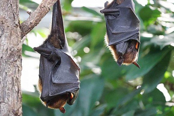 没注射过狂犬疫苗的看过来,加拿大有人被蝙蝠害死了