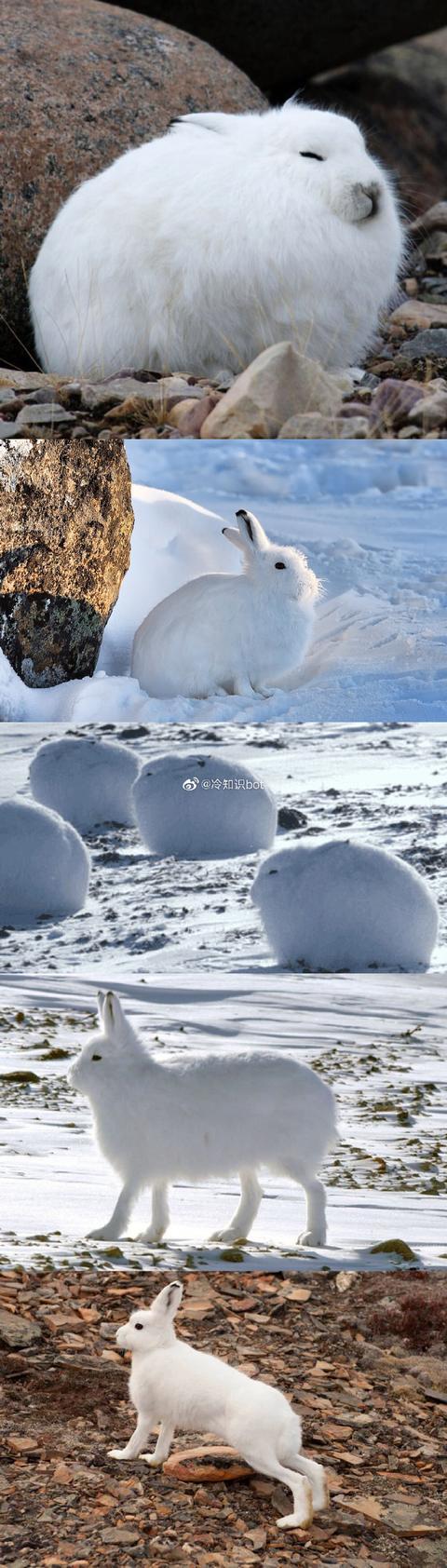 当北极兔站起来之后