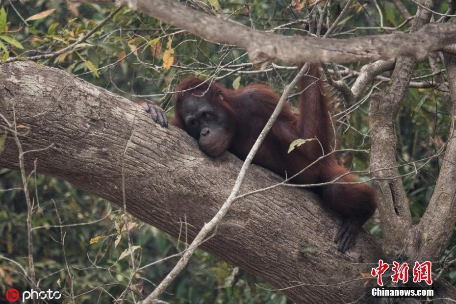 红毛猩猩逃过印尼森林火灾 躲在河边满脸忧愁