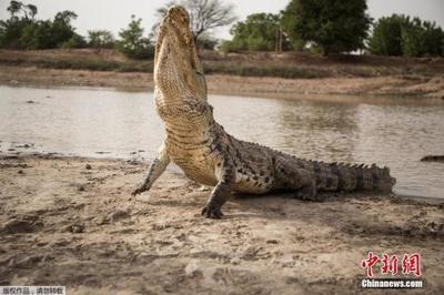 惊喜还是惊吓?男子钓鱼,不小心钓到一条鳄鱼
