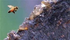 蜂胶可直接食用吗?没加工的蜂胶怎么吃?