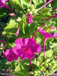 清热利湿、活血解毒,善于治疗带下过多、关节肿痛的紫茉莉
