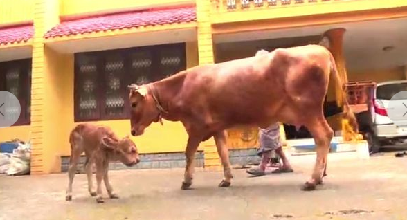 印度一农场出现双头小牛 有4只眼睛2张嘴