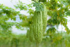 苦瓜叶子煮水的功效与作用,苦瓜叶子能吃吗?