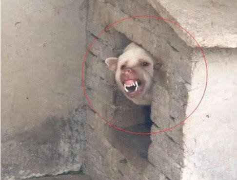 墙洞里探出只看家猪,网友好奇靠近探看,看清真容那刻直接笑出声