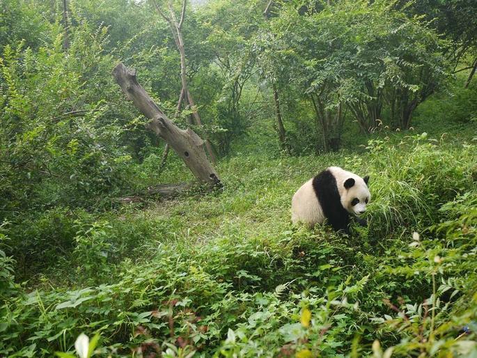 熊猫帮忙,越帮越忙,看完差点笑出眼泪!