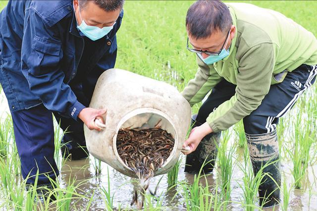 黑龙江:稻田养泥鳅一季可双赢