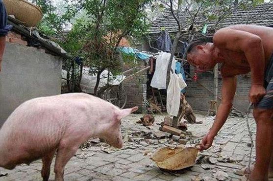 小猪因没有后腿被抛弃,老大爷收养意外成网红,主仆情谊让人感动
