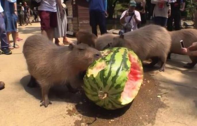 """水豚的吃瓜速度有多快?网友:没有感情的吃瓜""""机器""""!"""