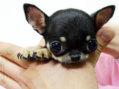 怎么样训练吉娃娃 狗狗大小便的教养