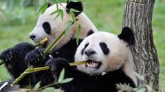 丢尽食肉动物的脸,大熊猫怎么成了啃竹子的憨憨